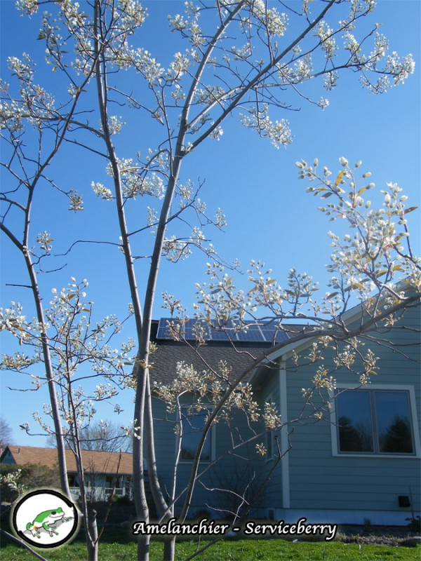 Amelanchier serviceberry