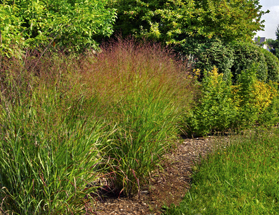 Garden grasses and bamboo for Large grasses for gardens