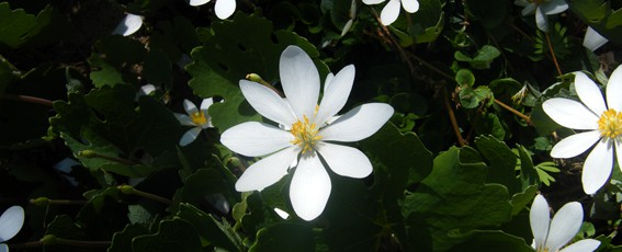 Bloodroot featured size
