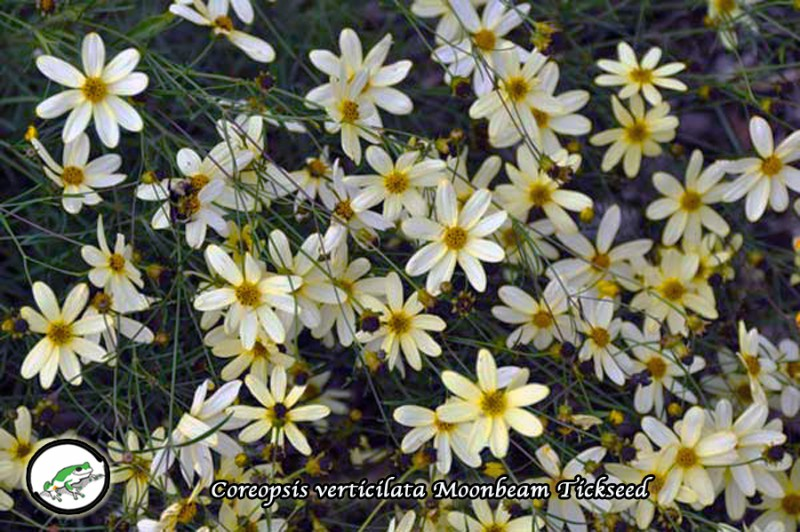 Coreopsis 'Moonbeam' tickseed